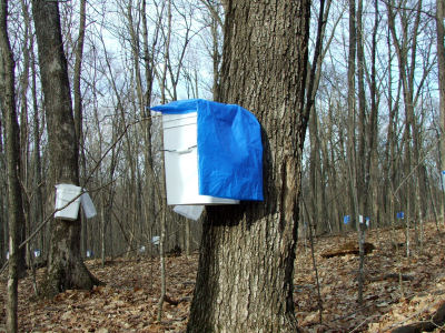 Pail on Maple Tree with Plastic Bag as a Cover